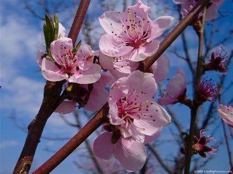 lucio battisti fiori rosa fiori di pesco fiori di pesco significato fiori fiori di pesco