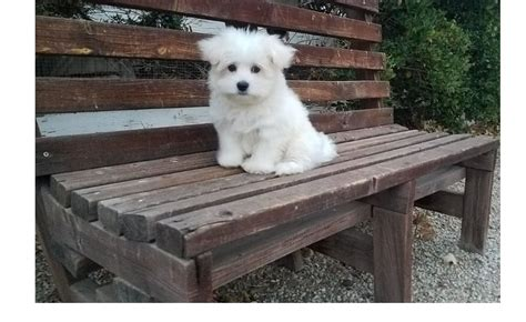 maltese puppies for sale in md maltese puppies for sale annapolis md 268208 petzlover