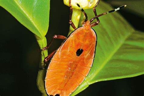 garden pests australia how to get rid of stink bugs new zealand handyman magazine