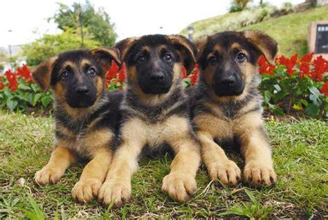 cutest german shepherd puppies german shepherd puppy picture