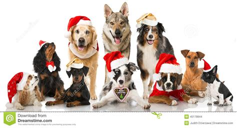 christmas dogs stock photo image  collie