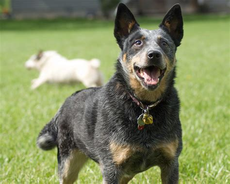 how to cattle dogs australian cattle breed 187 information pictures more