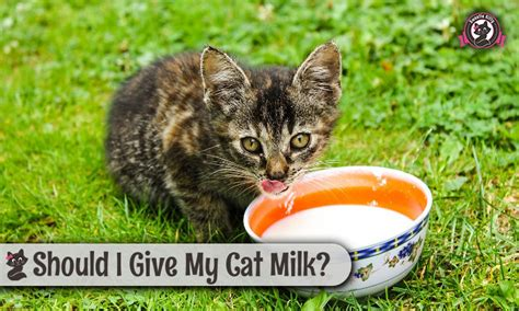 how much fish should i give my should i give my cat milk sweetie 2018