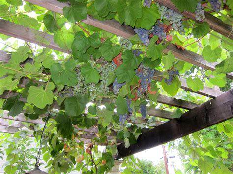 grape arbor root simple