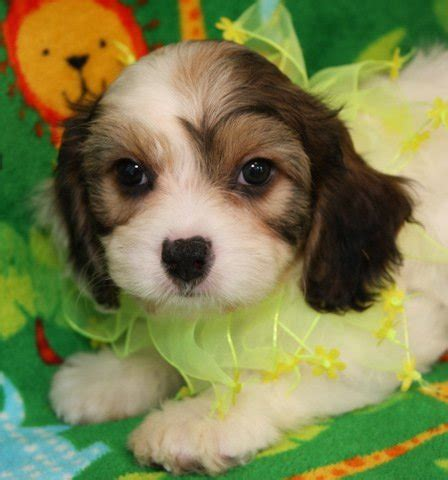 cavachon puppies ohio cavachon puppies cavachonpuppie