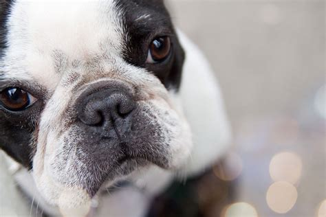 pug pros and cons pros cons of a bulldog breeds breeds picture