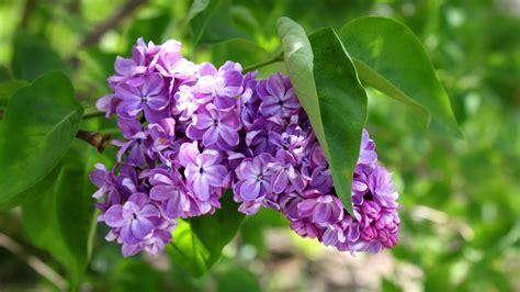 fiori per sfondi sfondi desktop primavera 50 immagini