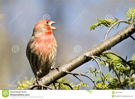 house finch singing singing male house finch perched on a branch royalty free