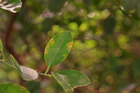 malattie della pianta di limone vaso malattie della pianta di limone top batterjpg with