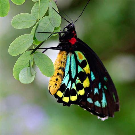 imagenes de mariposas reales bonitas fotos las 10 mariposas m 225 s bellas y coloridas www