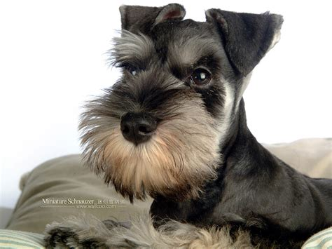 how to give a miniature schnauzer puppy a first haircut ehow 宠物狗狗迷你雪纳瑞 pet dog miniature schnauzer puppies