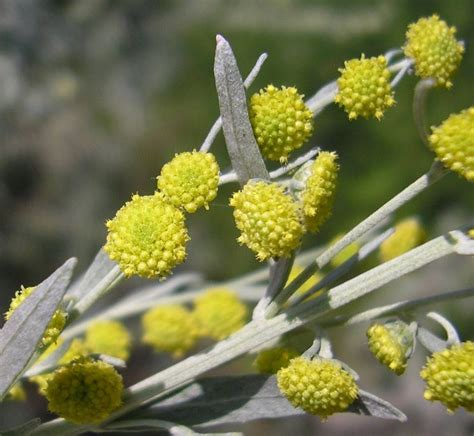 fiore artemisia assenzio aromatiche utilizzi assenzio coltivazione