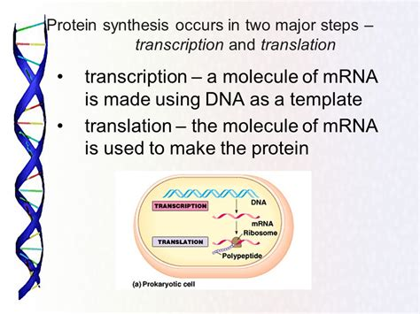 what is the template for transcription protein synthesis the genetic code the sequence of