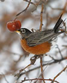 3 Season Porches american robin audubon field guide