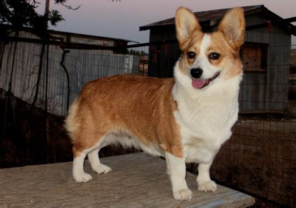 corgi chihuahua puppy chigi corgi chihuahua mix facts temperament puppies pictures