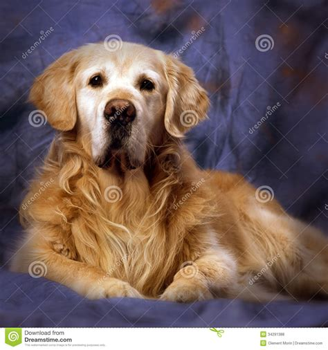 lots of golden retrievers golden retriever stock photo image of canine friendly 34291388