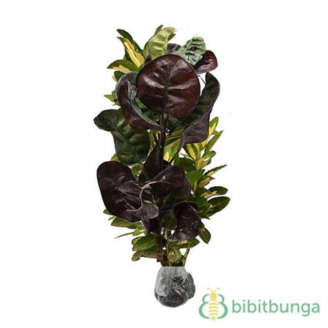 Anting Bunga Bulat tanaman puring jengkol bibitbunga