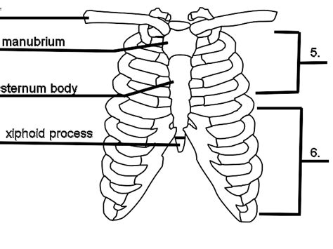 diagram rib cage ribs diagram quiz choice image how to guide and refrence