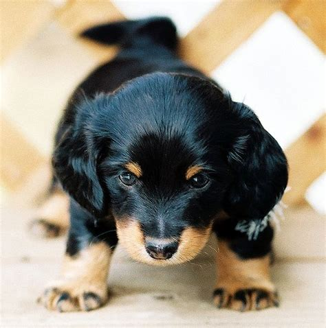 black dachshund puppies image of dachshund puppy with hair in black and looks so lovely jpg