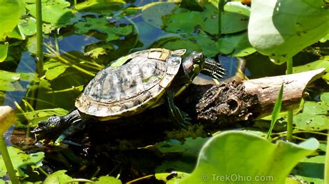 Eared Slider Shedding by Turtle With Shedding Shell Trekohio