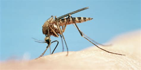 best natural mosquito repellents homemade herbal bug