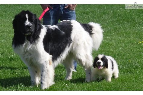 newfoundland puppies wisconsin newfoundland breeder landseer newfoundland puppies for sale breeds picture