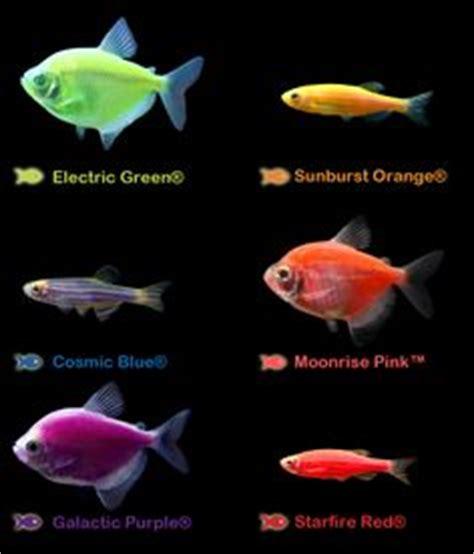 glofish colors meet glofish 174 on aquarium galleries and