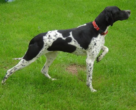 how to a pointer molly an pointer puppy in