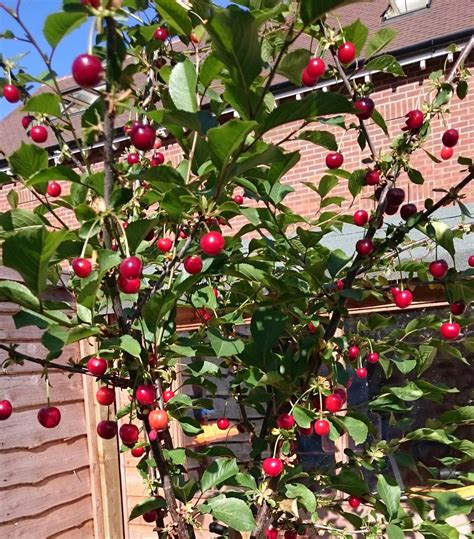 cherry tree edible identification are my cherries edible gardening landscaping stack exchange
