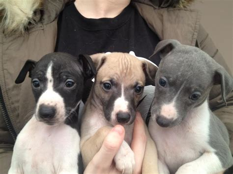 whippet puppies whippet beith ayrshire pets4homes