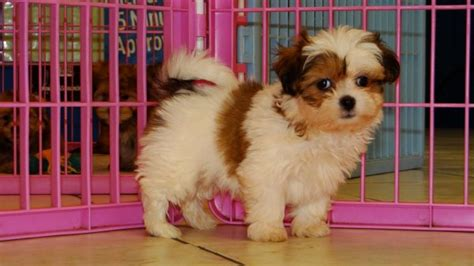 yorkie poos for sale in ga adorable shih poo puppies for sale in atlanta ga at atlanta columbus johns