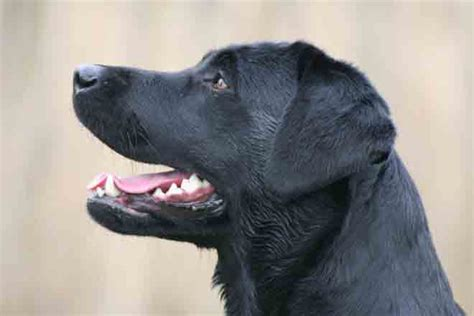 Wholesale Home Decor Items Black Labrador Lab Gifts Merchandise Items Decor Collectibles