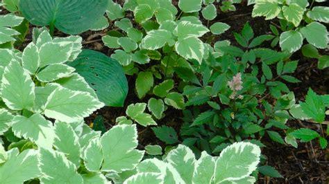 full shade loving plants bing images