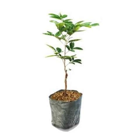 Benih Tanaman Bonsai benih tanaman buah kelengkeng jendral pusaka dunia