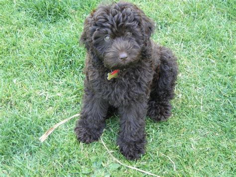 mini labradoodles uk chocolate mini labradoodles www pixshark images