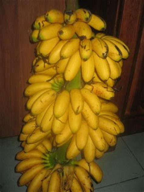 pembekal pisang banana supplier gambar pisang aka