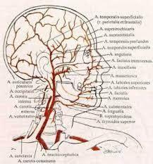 Livextra Melancarkan Pembulu Darah cara melancarkan peredaran darah ke otak