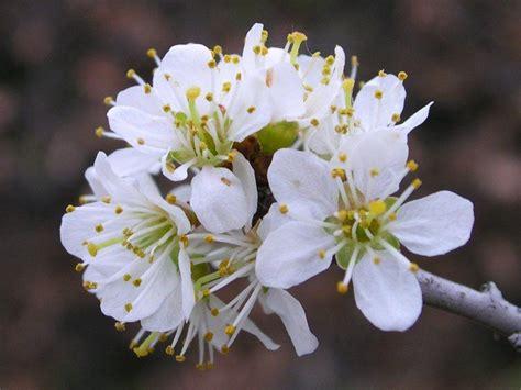 fiori di biancospino crataegus oxiacantha biancospino