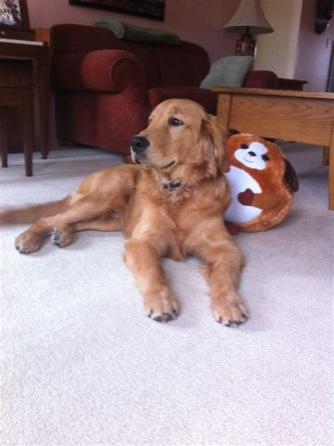 golden retriever dogs for sale in michigan our dogs golden acres michigan golden retriever puppies for sale cat and pet