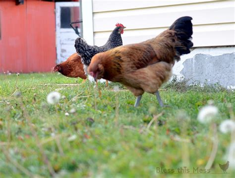 Keeping Free Range Chickens In Your Backyard Keeping Free Range Chickens In Your Backyard 28 Images Keeping Free Range Chickens In Your