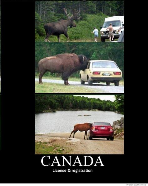 Canadian Moose Meme - license and registration moose meme by canadianmemes