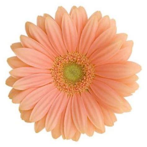 thinkin of home gerber daisy love gerbera daisy peach the box gerber daisies and the o jays