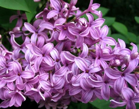 lilac flower meaning lilac flower facts lilac flower meaning color