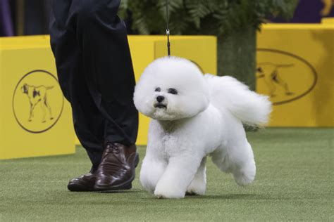 who won the show 22 of the best photos from day 1 of the westminster show for the win