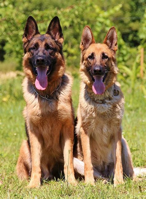 german shepherd puppy names german shepherd names 200 great ideas the happy puppy site