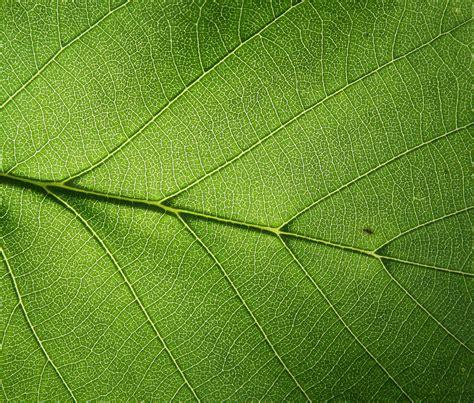 file leaf detail jpg wikimedia commons