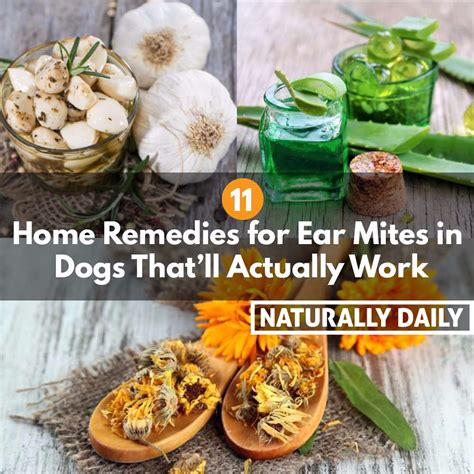 Home Remedies For Ear Mites In Dogs by 11 Home Remedies For Ear Mites In Dogs That Ll Actually