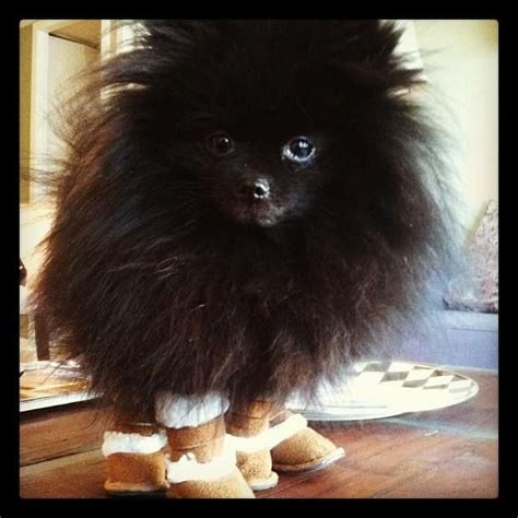 black fluffy puppy black fluffy dogs