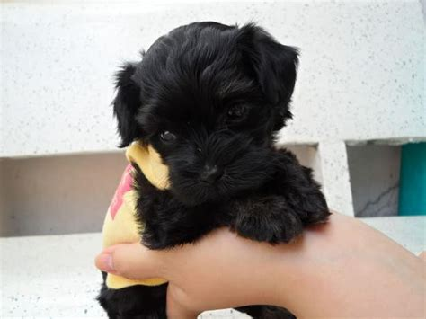 yorkie mixed with a poodle maltese poodle puppies yorkie mix puppies rockland gatineau