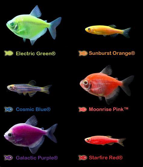 glofish colors what s your favorite glofish color electric green